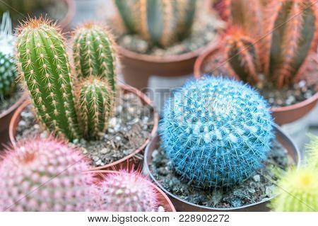 Small Multi-colored Cacti In Pots. Pink Cactus, Blue Cactus.