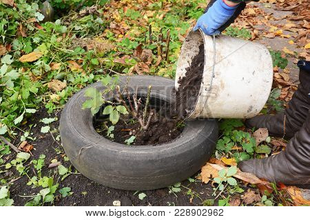 Winter Protection For Garden Roses Bush With Dirt, Peat And Old Car Tires. Gardener  Insulating Gard