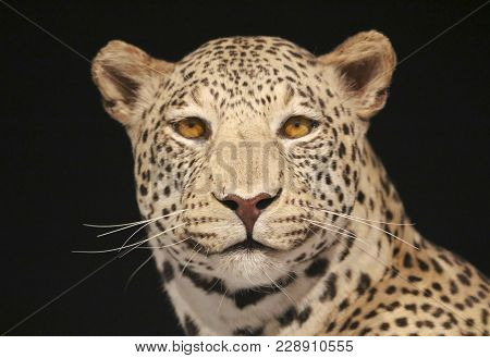 An African Leopard With A Black Background