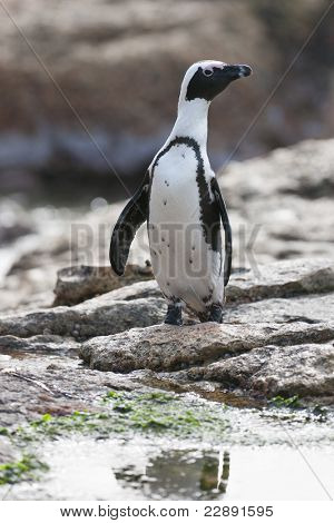 African penguin (spheniscus demersus) at the Boulders colony in Cape Town, South Africa.