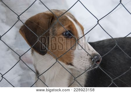 A Puppy Of A Russian Peggy Hound (english Foxhound) Sits Behind A Net. Close-up Portrait. The Head I