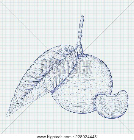 Mandarin Orange With Segment. Blue Hand Drawn Sketch On Lined Paper Background. Vector Illustration