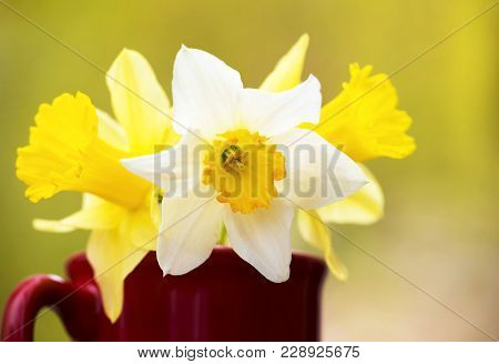 White And Yellow Easter Daffodil Flowers In Spring