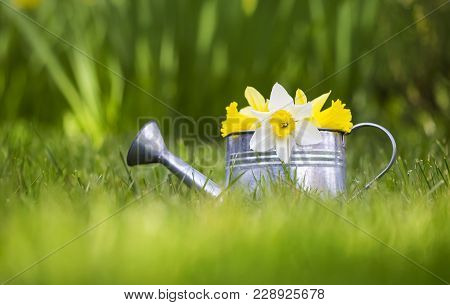 Easter And Gardening Concept -  Flowers In A Watering Can In Spring