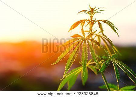 Indoor Marijuana Growing, Cannabis. Herb, Weed, Ganja. Illicit Narcotic, Illegal Drug