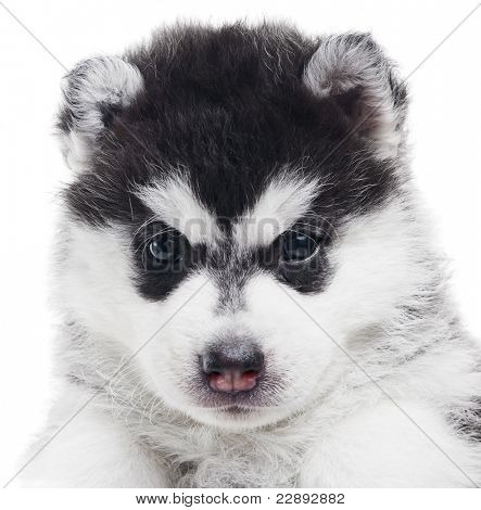 Portrait of one little puppy Siberian husky dog of one month isolated on white background
