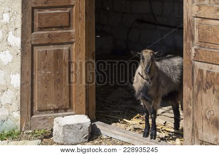 She-goat In The Shed. The Wooden Door And The Limestone Wall.