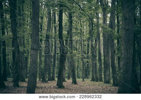 Old Tall Trees With Moss In Forest. Beautiful View Of Deciduous Forest, Landscape, Scenery, Paysage.