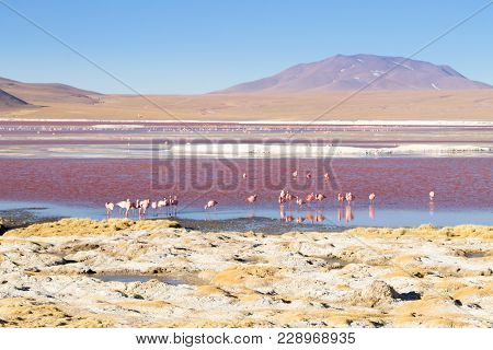 Laguna Colorada Flamingos, Bolivia