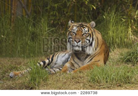 Bengal Tiger In Front Of Bamboos