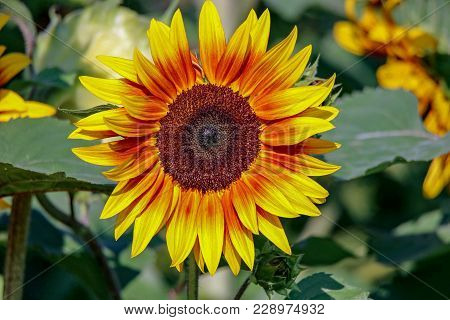 Closeup Of A Brilliant Yellow Sunflower Facing Toward You In The Sunlight In A Garden Near Lake Harr