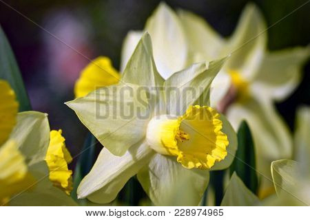Closeup Of Yellow Daffodils In The Sunlight
