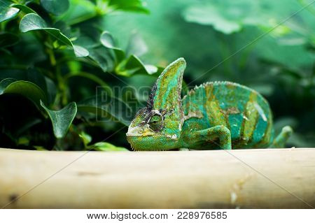 Close Up Portrait Of Chameleon Adhere On A Brown Timber With A Green Leaves And Tree Nature Backgrou