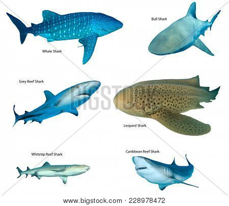 Collection shark species isolated. Whale Shark, Leopard, Bull, Caribbean and Whitetip Reef Sharks on white background