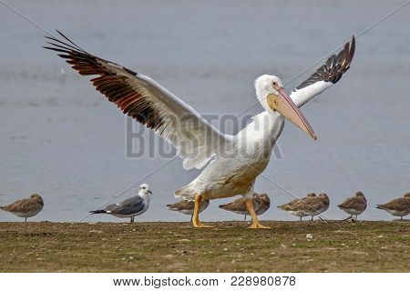 American White Pelican Flapping Wings Among Sand Pipers And Seagull On Sandy Beach In Florida