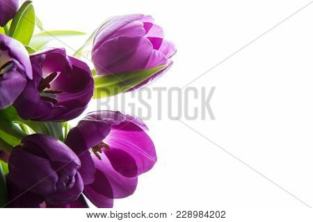 Bouquet Of Fresh Purple Tulips. Purple Tulips On The White Background.