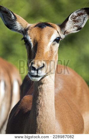 Face And Neck Of Wild Thompsons Gazelle