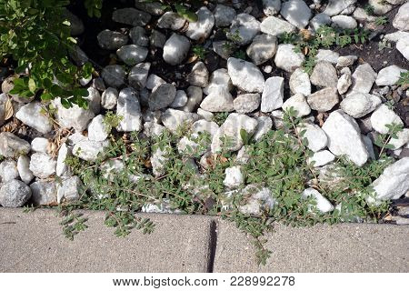 Portulaca Oleracea (common Purslane, Also Known As Verdolaga, Pigweed, Little Hogweed, Red Root, And