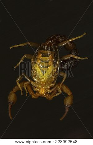 A Fat Tailed Scorpion, Hottentotta Sp. Ventral View. Goa, India. These Scorpions Bear A Fat Tail And