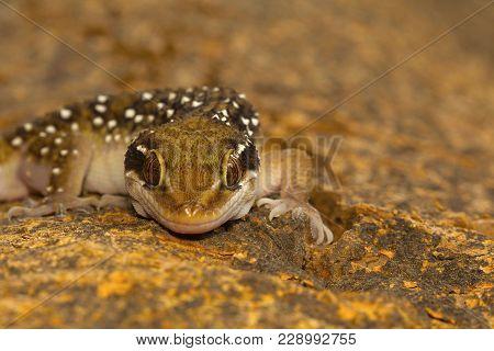 Termite Hill Geckos Are Fairly Large Geckos Which Bear Distinct Bands On Their Dorsum. Commonly Foun