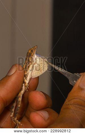 The Dewlap Or The Fan Of The Fan Throated Lizard, Genus Sitana. Pondicherry, Tamilnadu, India