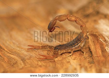 Fat Tailed Scorpion Sting, Genus Lychas From Pondicherry, Tamilnadu, India. These Are Also Known As