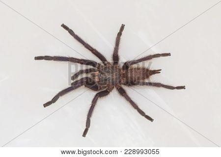 Male Tarantula Of The Genus Chilobrachys. Visakhapatnam, Andhra Pradesh, India