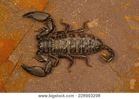 Dwarf Scorpion Of The Genus Liocheles. These Live In Crevices In Rocks In Forested Areas
