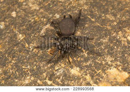 Mygalomorph Spider Of The Genus Indothele From Ncbs Campus, Bangalore, Karnataka, India