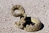 This mojave rattlesnake is showing the classic rattlesnake defense posture. poster
