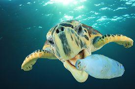 Plastic pollution problem: Sea Turtle eats plastic bottle