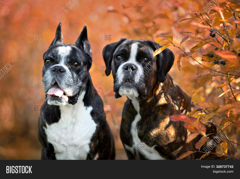 German Boxer Dogs Image Photo Free Trial Bigstock
