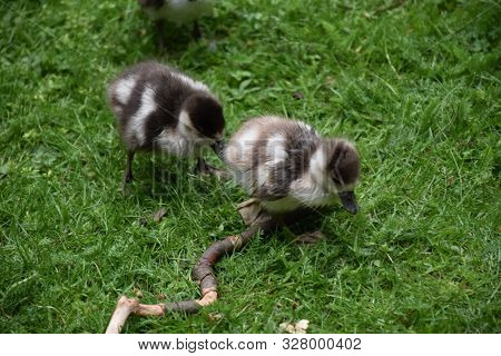 Waddling Baby Ducklings Following After Each Other.