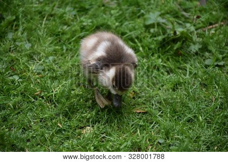 Adorable Sweet Fuzzy Baby Duckling Waddling Forward.