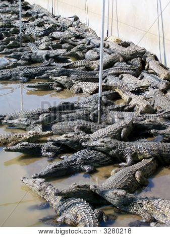 Hundreds Of Crocodiles
