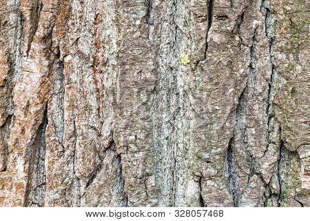 natural texture - furrowed bark on mature trunk of poplar tree (populus ) close up poster
