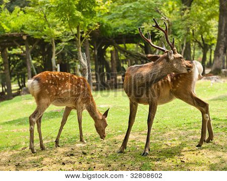 One of the famous sacred sika deers in Nara, Japan