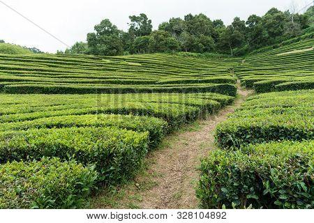 Path Cutting Through A Hillside Tea Plantation On São Miguel Island In The Azores On A Bright Day. P