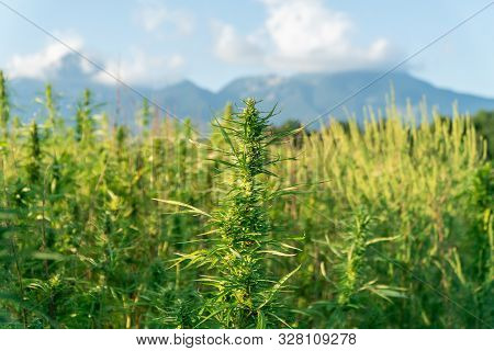 Close Up Photo Of Marijuana Plant At Outdoor Cannabis Farm Field. Hemp Plants Used For Cbd And Healt