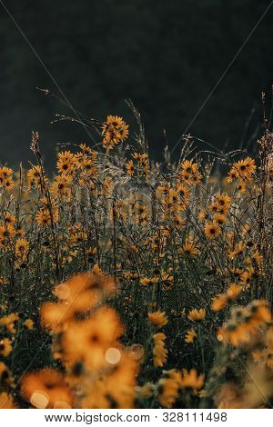 Prairie Of Wild Autumn Sunflowers In The Midwest. Selective Focus. Golden Flowers And Summer Prairie
