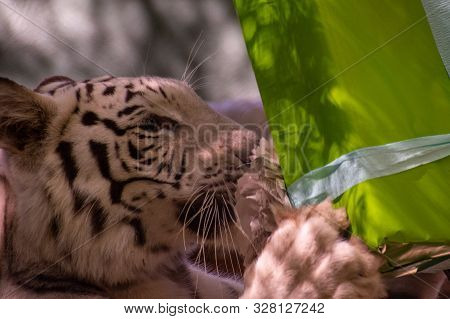 White Tiger Holding A Green Wrapped Present