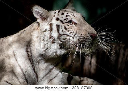 White Tiger Laying In The Shade, Looking Off