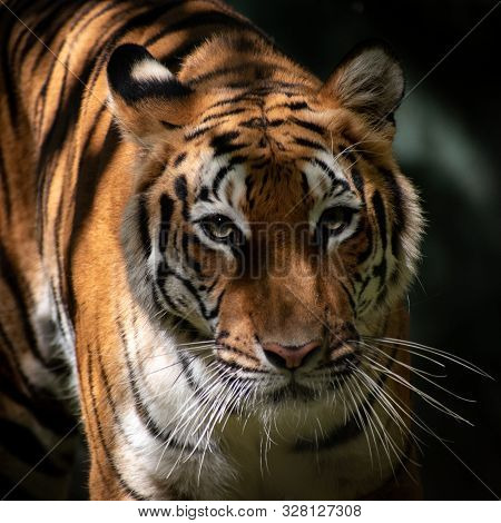 Close Up Of A Tiger Standing Staring Ahead