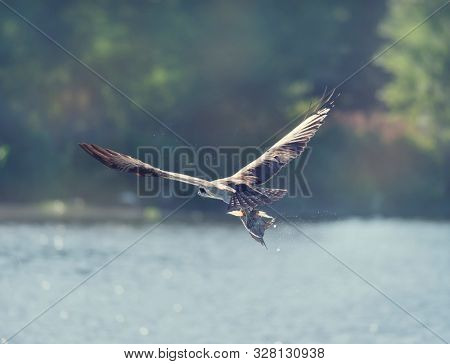 Osprey in Flight Carrying A Fish In It's Talons in Florida wetlands
