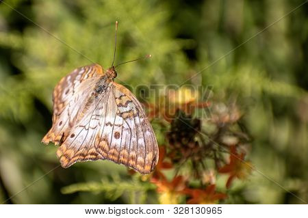 Close-up Of An Orange And Brown Butterfly Flying