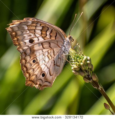 Close-up With Beautiful Detail Of A Brown And White Butterfly