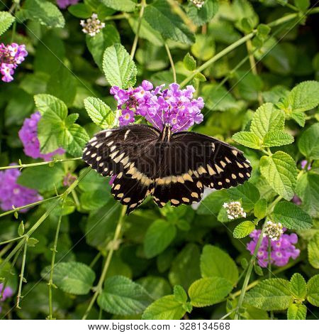 Close Up Of A Black And White Butterfly With Purple Flowers
