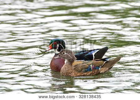 Male And Female Wood Ducks, Swimming In A Pond With Light Reflecting. The Wood Duck Or Carolina Duck