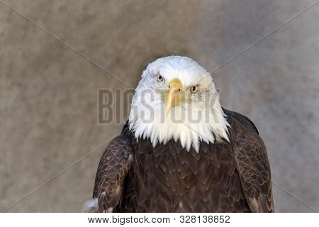 Close Up Portrait Of A Bald Eagle With Textured Rock Wall Behind, Looking Directly At Viewer. A Bird