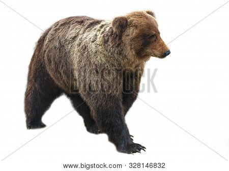 The Big Brown Bear Isolated On White Background